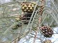 Casuarina equisetifolia fruits.jpg