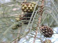Casuarina equisetifolia fruits
