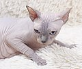 Cat - Sphynx. img 045.jpg