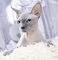 Cat - Sphynx. img 071.jpg