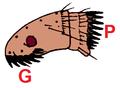 Cat flea combs.png