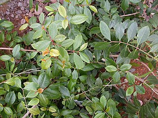 Khat species of plant, chewed by humans