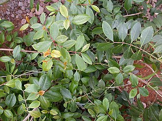 Cathine - Cathine is found in the shrub khat (Catha edulis).