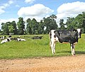 Cattle in Raveningham Park - geograph.org.uk - 1337935.jpg
