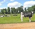 Cattle in Raveningham Park - geograph.org.uk - 1337935.jpg