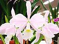 Cattleya warneri forma concolor Santa Tereza.jpg
