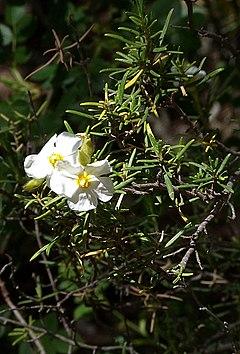 240px cazhalimiumumbellatumviscosum