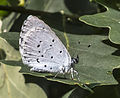 Celastrina argiolus (closed) in the Aamsveen, The Netherlands.jpg
