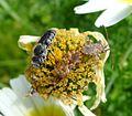 Centrocornis spiniger mating. Bee probably subgenus Hoplitis, Megachilidae - Flickr - gailhampshire.jpg