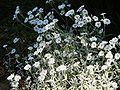 Cerastium tomentosum01.jpg