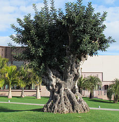 Ceratonia as ornamental tree Piante Faro Sicilia.JPG