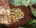 Ceratophrys ornata 02.jpg