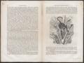 Cercopithecus petaurista - 1700-1880 - Print - Iconographia Zoologica - Special Collections University of Amsterdam - UBA01 IZ19900148.tif