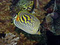 Chaetodon pelewensis Sunset Butterflyfish by Nick Hobgood.jpg