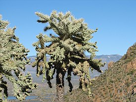 Chain-fruit cholla.jpg