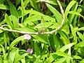 Chalky percher (Diplacodes trivialis) from Ezhimala DSCN2275.jpg
