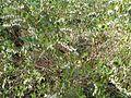 Chamaedaphne calyculata - Flickr - peganum.jpg