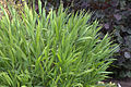 Chasmanthium latifolium GotBot 2015 002.jpg