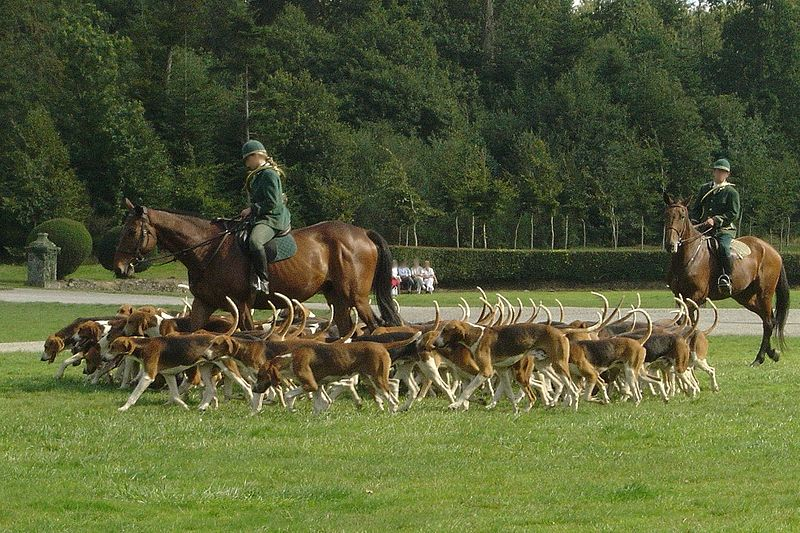 A French staghound pack moving off.