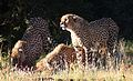 Cheetah, Acinonyx jubatus, at Pilanesberg National Park, Northwest Province, South Africa. (27551672686).jpg