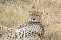 Cheetah (43577862912).jpg