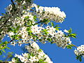 Cherry blossom (Cerasus) 12.JPG