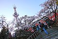 Cherry blossoms in front of Alishan Police Station 20150321a.jpg