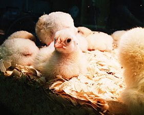 Chicks in an Incubator.jpg