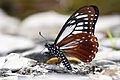 Chilasa agestor matsumurae male ventral view 20150308.jpg