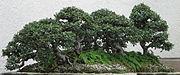 Chinese Elm, 1988-2007.jpg