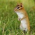 Chipmunk posing for peanuts (7990181824).jpg