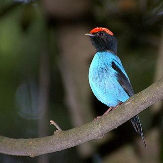 Blue manakin - Image: Chiroxiphia caudata 2