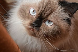 Himalayan cat - A chocolate-point peke-faced Himalayan