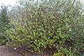 Chorilaena quercifolia - UC Santa Cruz Arboretum - DSC07329.JPG