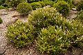 Christchurch Botanic Gardens, New Zealand section, Hebes 2016-02-04-2.jpg