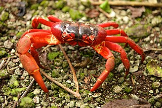 species of crustacean