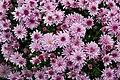 Chrysanthemum x morifolium Dompierre 2.jpg