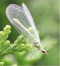 Chrysopidae 3035.jpg