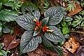 Chrysothemis pulchella (Gesneriaceae) (30515813575).jpg
