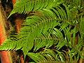 Cibotiaceae - Cibotium regale-001.JPG