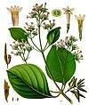 Cinchona pubescens - Köhler–s Medizinal-Pflanzen-161.jpg