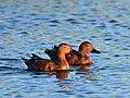 Cinnamon teal on Seedskadee National Wildlife Refuge (35577048385).jpg