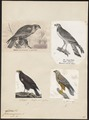 Circus aeruginosus - 1700-1880 - Print - Iconographia Zoologica - Special Collections University of Amsterdam - UBA01 IZ18300179.tif