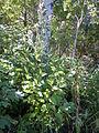 Cirsium vulgare (4994568475).jpg