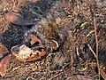 Civettictis civetta (dead).jpg