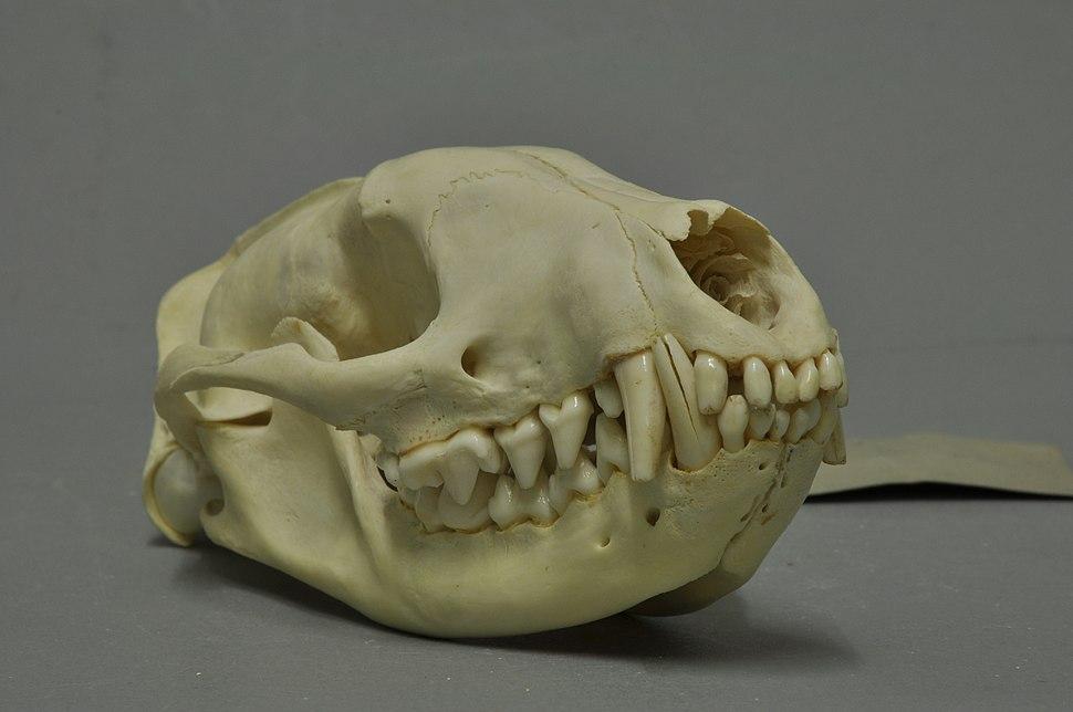 Civettictis civetta 05 MWNH 253
