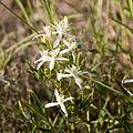 Clématite vigne blanche-Clematis vitalba-Fleurs-20140806.jpg