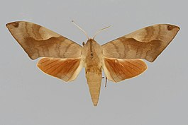Clanis phalaris phalaris BMNHE813937 male up.jpg