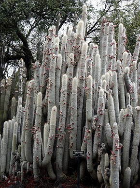 Description de l'image  Cleistocactus strausii Woolly Torch, Huntington Desert Garden.jpg.