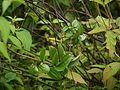 Clematis hedysarifolia DC. (6225640287).jpg